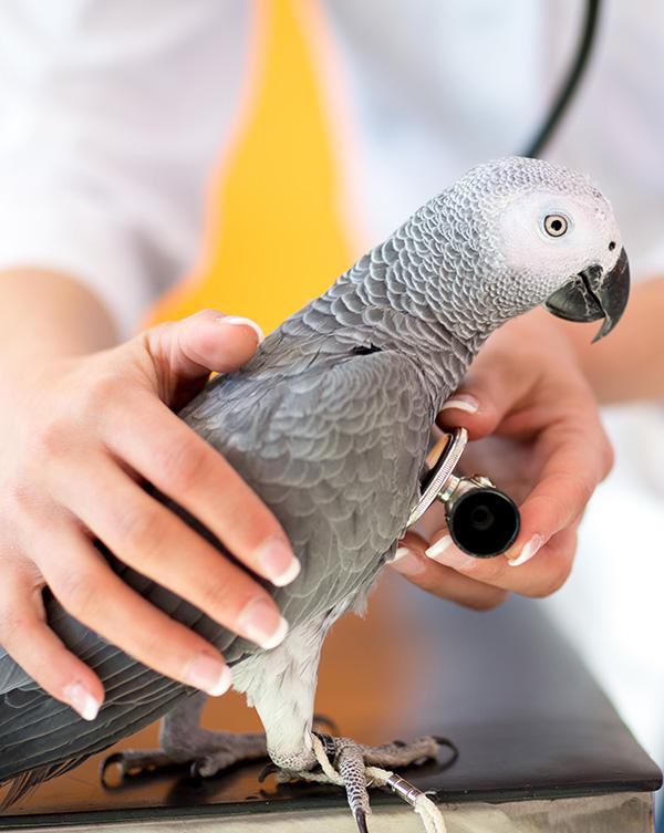 veterinarian with bird stethoscope